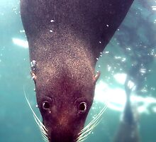 Fur Seal by John Marriott