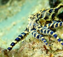 Blue Ringed Octopus by John Marriott