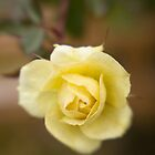Survivor, Dec 1, Yellow Rose by rjcolby