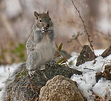 Grey Squirrel In The Snow by Diana Graves Photography