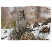 Grey Squirrel In The Snow Poster