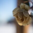 Survivor, Dec 9, Yellow Rose, Not So Much by rjcolby