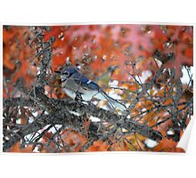 Blue jay, Red tree Poster