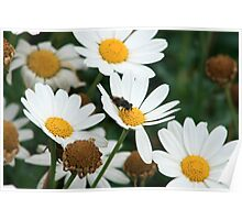 Fly Pollinating Daisy Poster