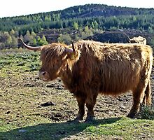 Highland Coo in Scotland by Escocia Photography