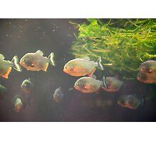 Piranha Photographic Print