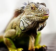 Iguana  by Laura  Cutts