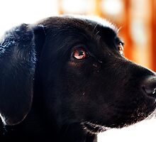 Black lab by nadeget