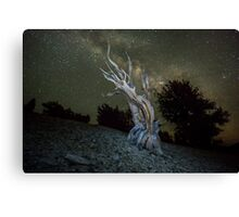 Ancient Bristlecone Pine in the White Mountain Canvas Print