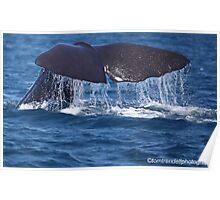 Sperm Whale Poster