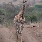Young giraffe by corrado
