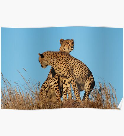 Cheetahs searching Poster