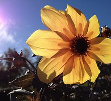 Yellow Flower in Sun by hdniki