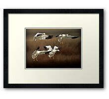Cleared for Landing - Snow Geese Framed Print