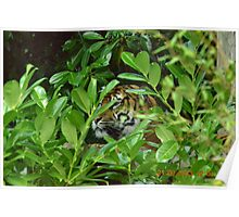 tiger in undergrowth Poster