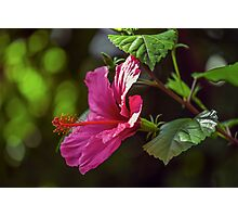 Hibiscus Blossom Photographic Print