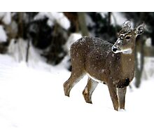 Snowy Doe Photographic Print