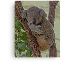 Sleeping Koala Canvas Print