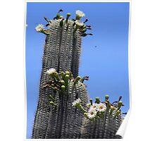Saguaro Cactus in Bloom Poster