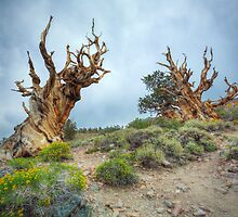 Oldest Tree in The World - The Bristlecone pine trees by Jerome Obille