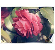 Camellia, dark pink Poster