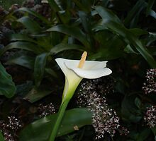Lily in Shadow  by scholara