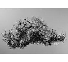 Free Ferret Photographic Print