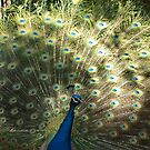 Peacock in the Sun by kalaryder