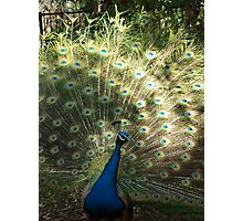 Peacock in the Sun Photographic Print