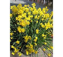 Heralds of Spring - Keukenhof Daffodil Display Photographic Print