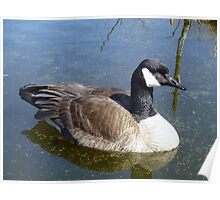 Canada Goose Swimming Poster