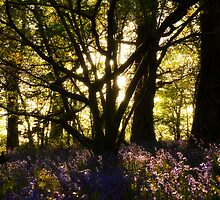 Bluebell wood Rose craddoc woods by stevieuk