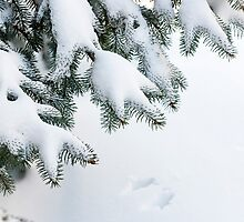 Snow on winter evergreen branches by Elena Elisseeva
