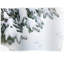 Snow on winter evergreen branches Poster