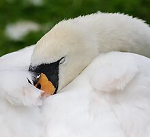Sleeping Swan by Heidi Stewart