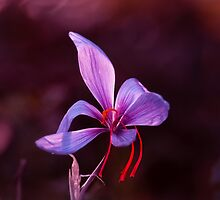 Purple Saffron crocus  by viktori-art