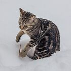 Cisco Discovers Snow by Mikell Herrick