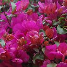 Bougainvillea by lezvee