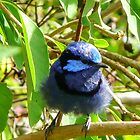 baby Blue Bird by Matt Fricker Photography