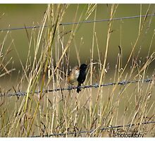 Red-Backed Wrens Photographic Print