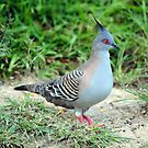 Crested Pigeon. Cedar Creek. Qld, Australia. by Ralph de Zilva