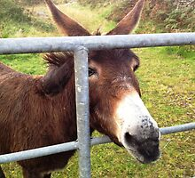Donkey in Kerry, Ireland by Maire Morrissey-Cummins