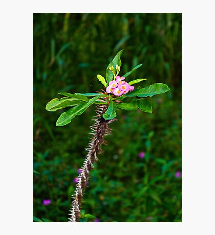 Pink Crown of Thorns  Photographic Print