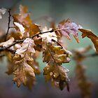 Oak leaves by TOM KLAUSZ