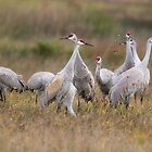 Sand Hill Cranes Return by SuddenJim