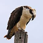 Osprey by SuddenJim