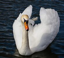 Swan Beauty by Heidi Stewart