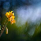 Yellow Fawn-lily by viktori-art