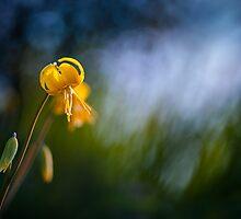 Yellow Fawn-lily by viktori-art