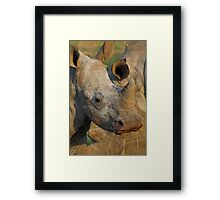 Young white rhino Framed Print